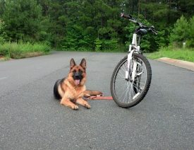 Biking our German Shepherds!