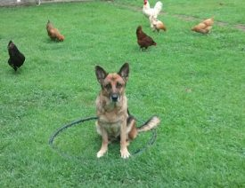 Do German Shepherds Attack Chickens?