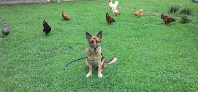 GSD with chickens