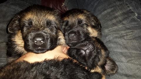 puppies in lap