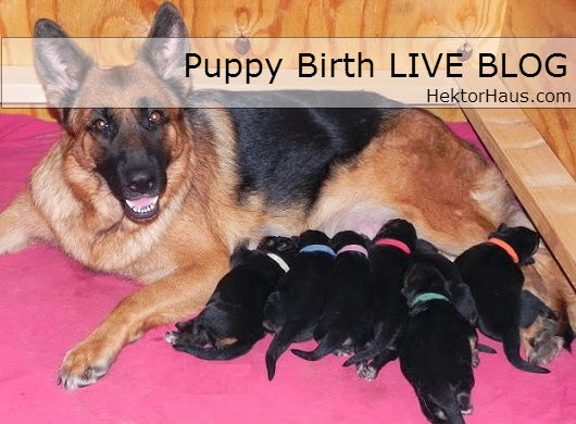german shepherd puppy birth live blog
