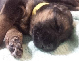 Should I Let My German Shepherd Puppy Sleep in Bed With Me?