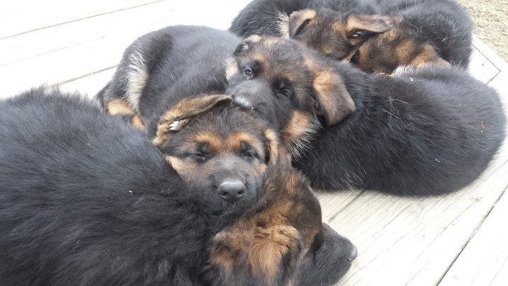GSD puppies sleeping