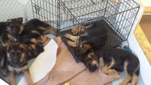 pupies around crate