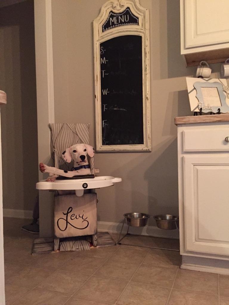 Dalmatian in Bailey Chair