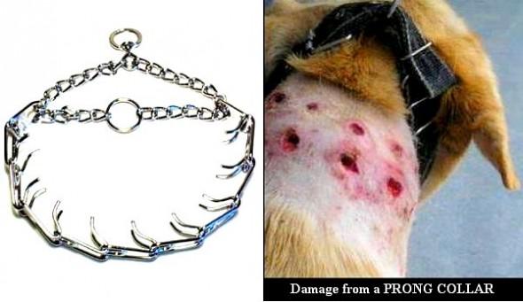 pronged collar cruelty