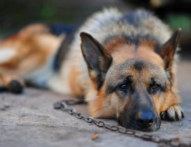 Tethered German Shepherd Dogs in the News