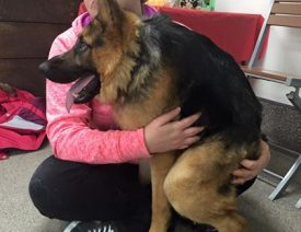 Quasi The Great - a German Shepherd with Short Spine Syndrome
