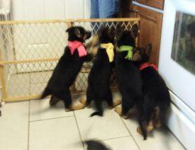 2017 German Shepherd Puppies Available in North Carolina!