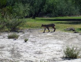 Bobcat Attacks German Shepherd in Arizona