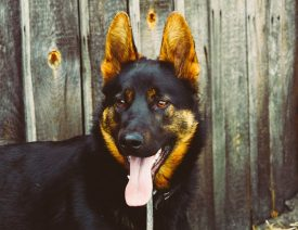 St. Louis German Shepherd Dog Owners Charged With Negligence