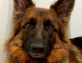A 3 Year Old German Shepherd Dog From the Hektor Haus C Litter