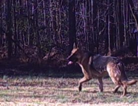 German Shepherd Caught on Deer Camera