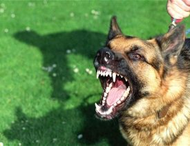 German Shepherd - Pit Bull Mix Attacks 10yr Old Boy near Garden City Colorado