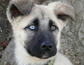 Can German Shepherds Have Blue Eyes?