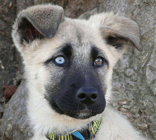 blue eye german shepherd can german shepherds have blue eyes all about shepherds 2789