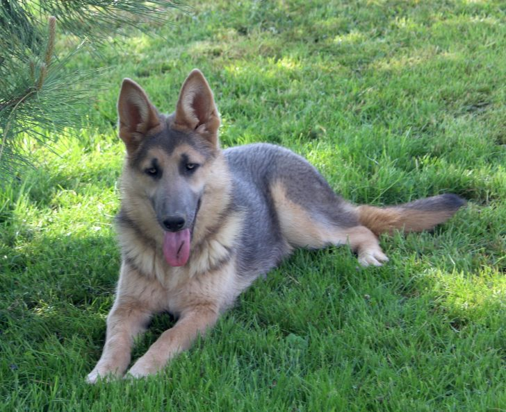 can german shepherds have blue eyes all about shepherds