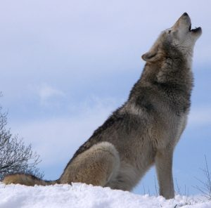 Are German Shepherds Part Wolf? - All About Shepherds