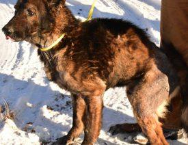 The Ozark 14 - Abused, Rescued German Shepherds