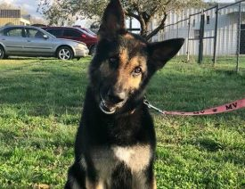 New Pendleton SC Rescue Helps 20 German Shepherd Dogs Find Forever Homes