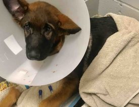 Man Kills German Shepherd Puppy, Raises $14,000 Fraudulent GoFundMe