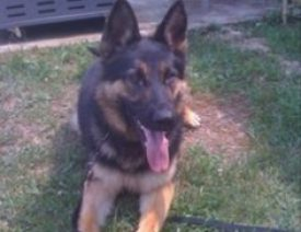 RIP Baxter, a Mt Sterling Police Department German Shepherd K9