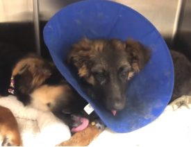 Mutilated German Shepherd Puppies Found in Oakland, $5000 Reward