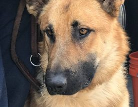"""German Shepherd """"Mendo"""" Rescued in California Wildfires Gets Home with Firefighter"""