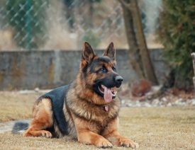Did a German Shepherd Dog Test Positive for Coronavirus COVID-19?