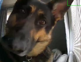 German Shepherd Plays With Home Security Camera, Goes Viral