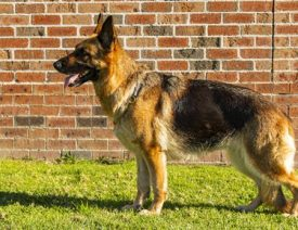 Sydney Scientists Sequence German Shepherd's Entire Genome