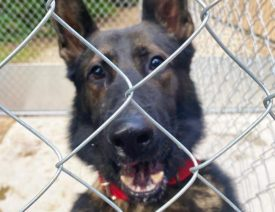 "Midland, Michigan Police Department Welcomes New German Shepherd ""Leo"""