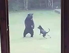 German Shepherd Dog and Black Bear Make an Unlikely Duo